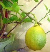 Cytryny rodem ze… Świerzna