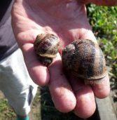 Nie każdy ślimak to winniczek – Ślimaki z maleńkiego Ducina podbijają Europę