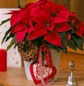 Poinsecja czyli Gwiazda Betlejemska to dobry prezent na święta